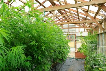 Illinois medical marijuana laws